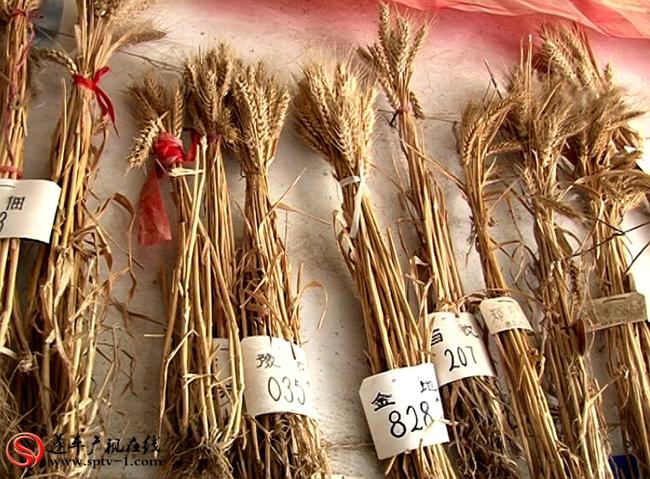 农艺师黄平良采集的小麦标本。