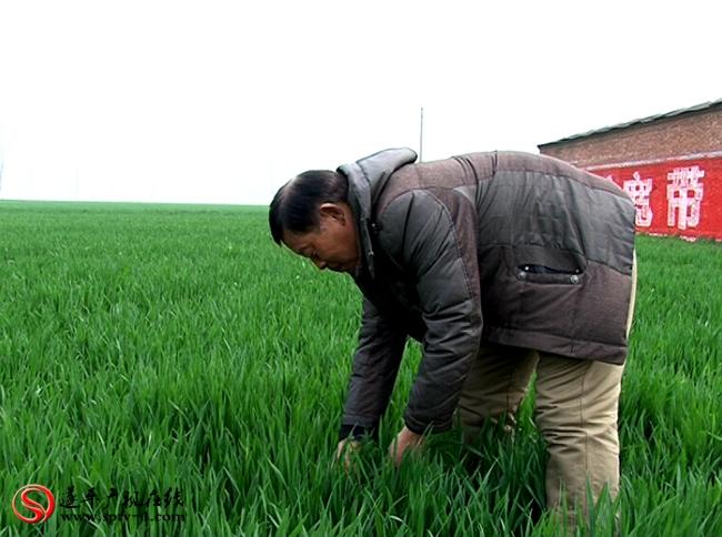 农艺师黄平良在田间查看苗情。