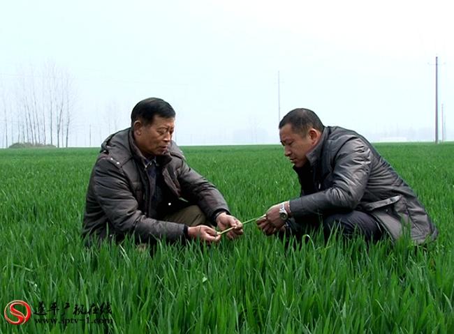 农艺师黄平良在田间传授小麦的田间管理技术。