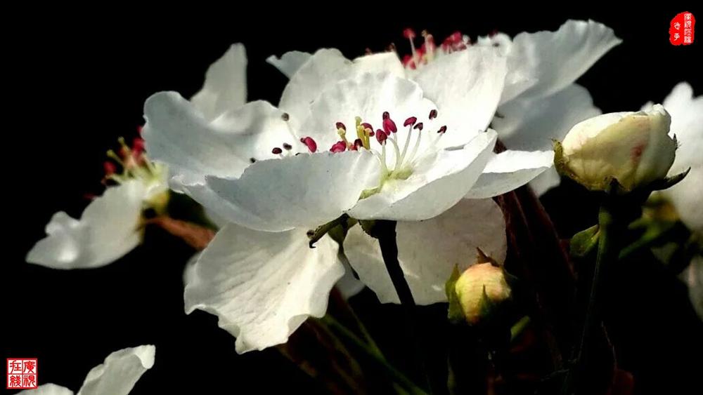 玉梨花(摄影:刘霞)