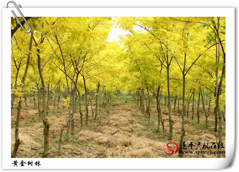 黄金树林1_副本