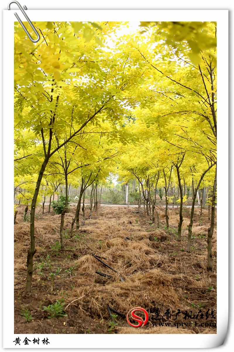 黄金树林2_副本