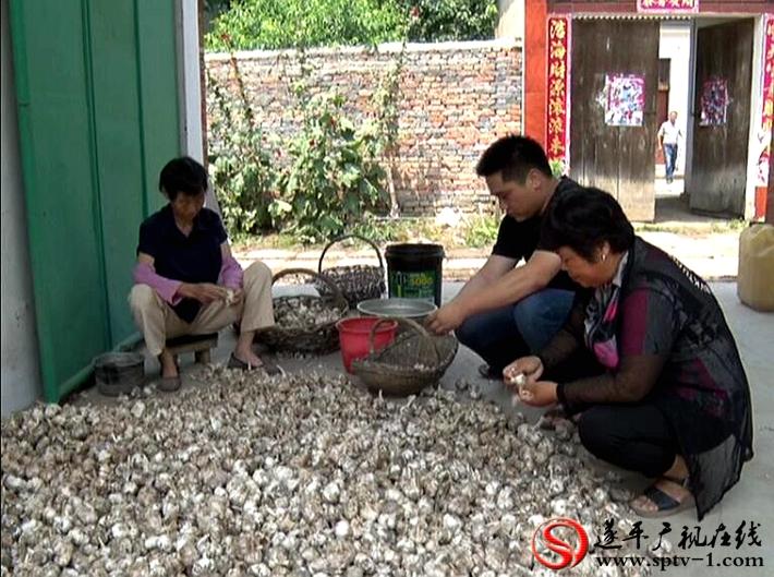 上图:电商负责人在教蒜农如何挑选整理大蒜。